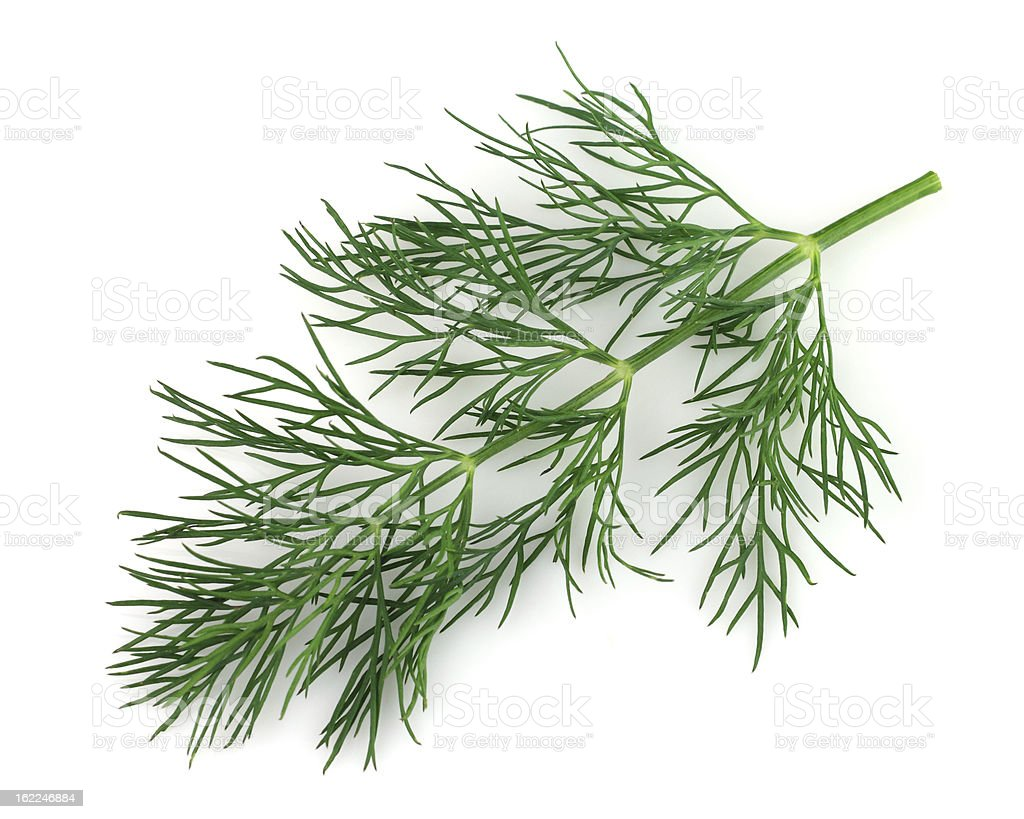 A sprig of fresh dill isolated on white stock photo