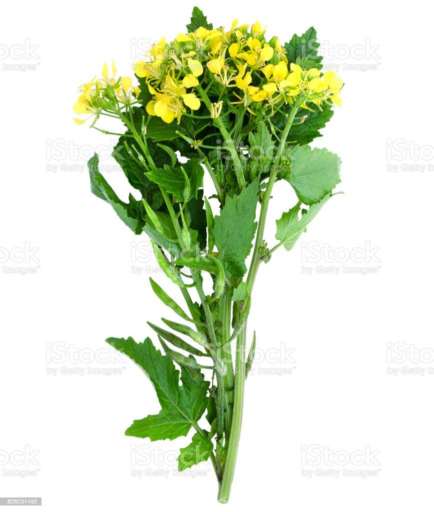 Sprig of fresh rapeseed. stock photo