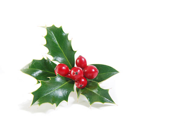 Sprig of green holly and ripe red berries stock photo