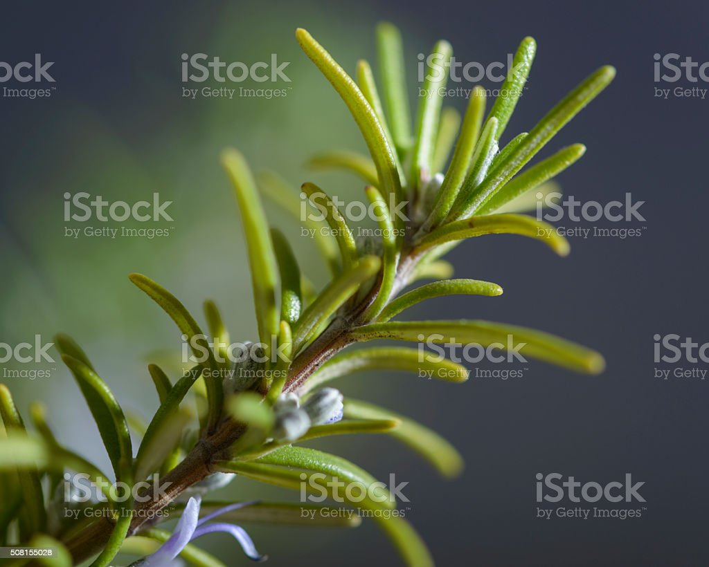 Sprig of Growing Rosemary Herb with Flowers Close-up stock photo