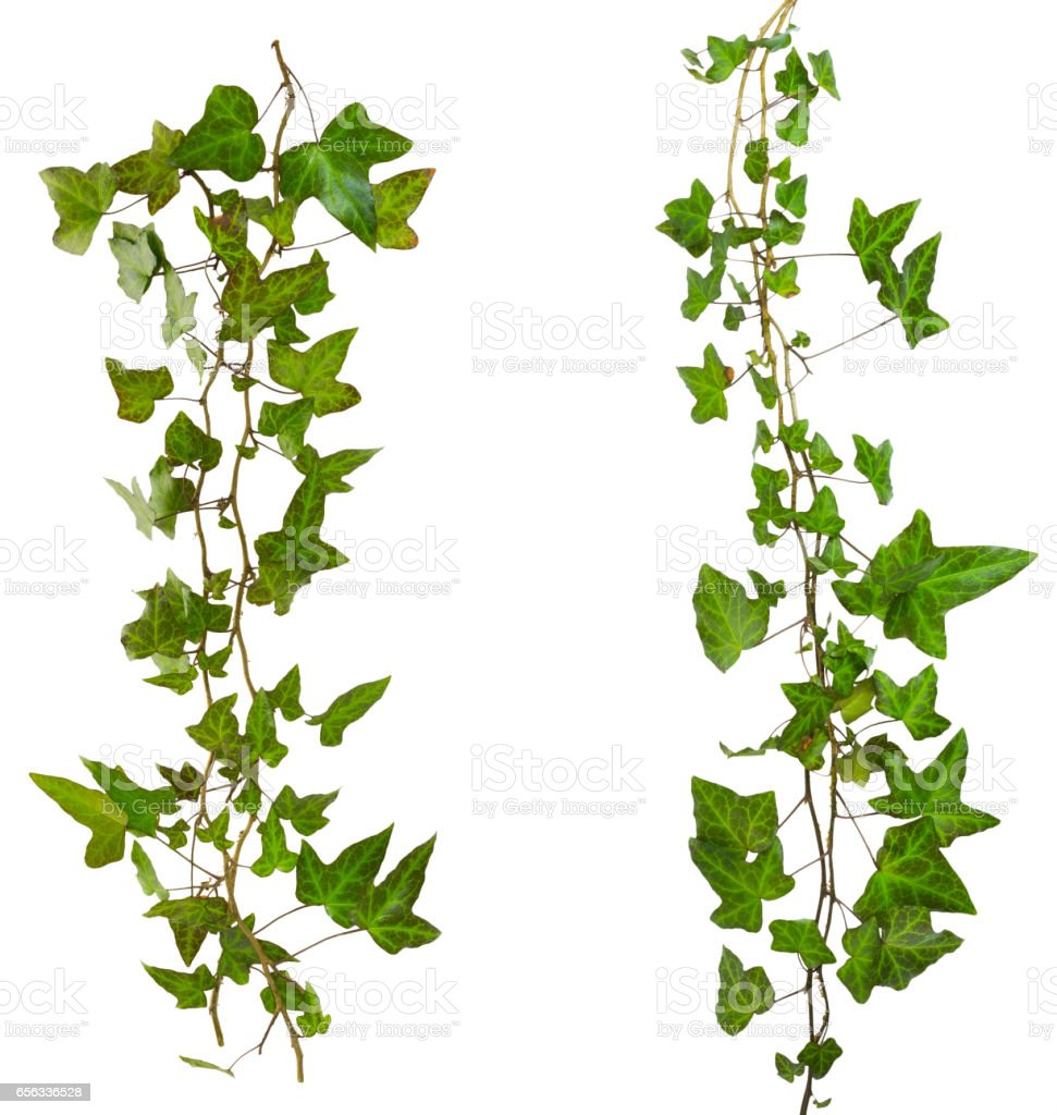 sprig of ivy with green leaves isolated on a white background stock photo
