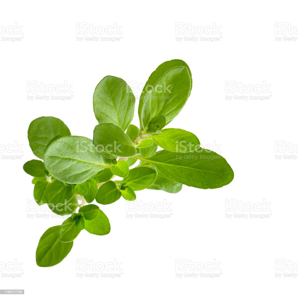 A sprig of marjoram on a white background royalty-free stock photo