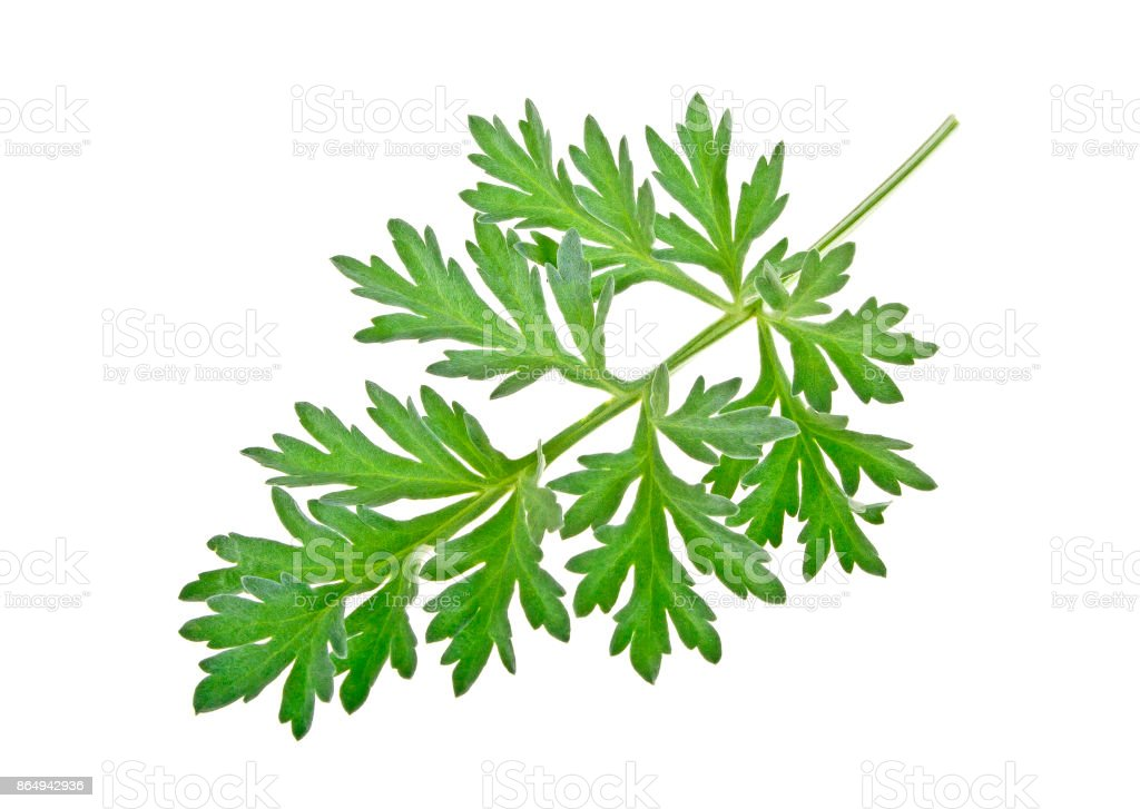 Sprig of medicinal wormwood on a white background. Sagebrush sprig. stock photo