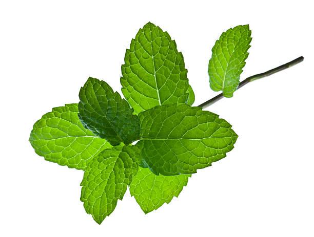 a sprig of mint leaves on a white background - i̇ngiliz nanesi stok fotoğraflar ve resimler