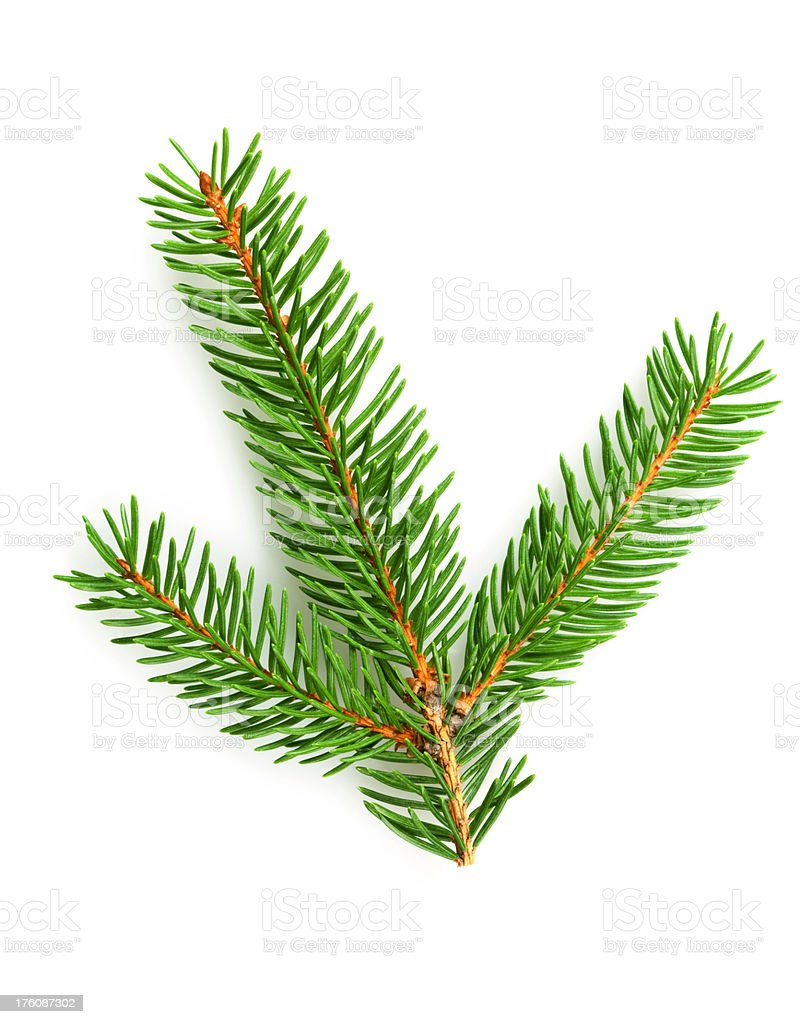 Sprig Of Pine royalty-free stock photo