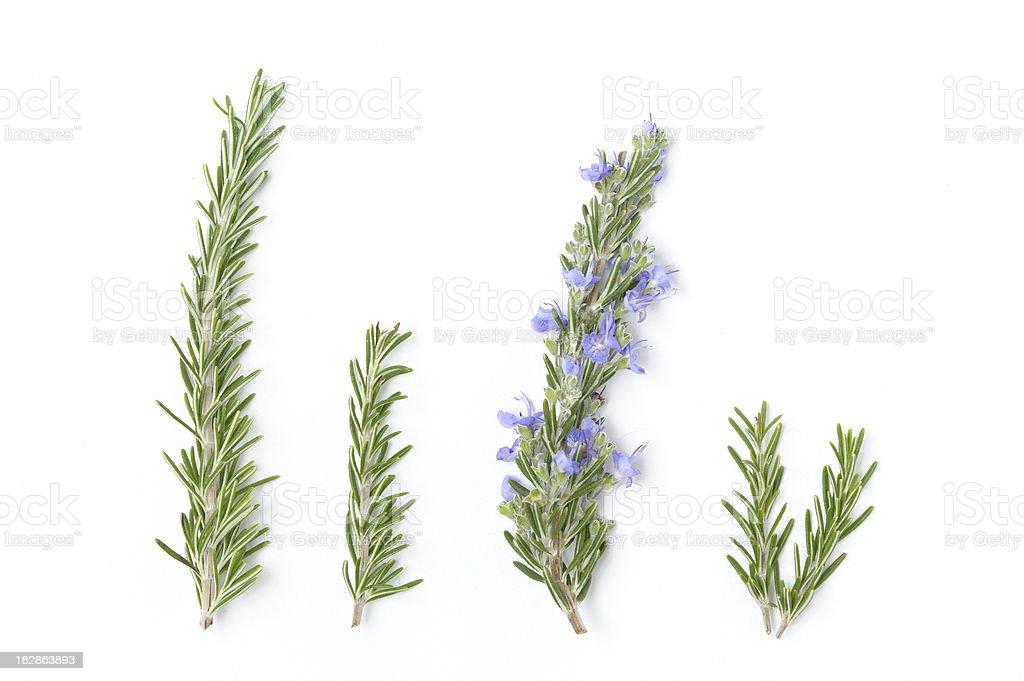Sprigs of Fresh Rosemary royalty-free stock photo