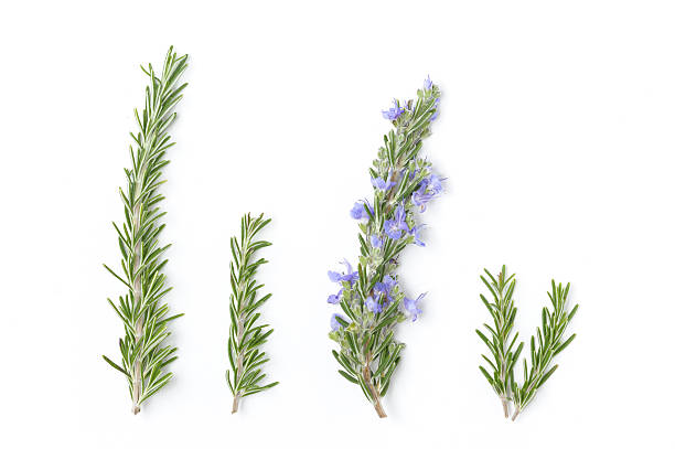 Sprigs of Fresh Rosemary stock photo