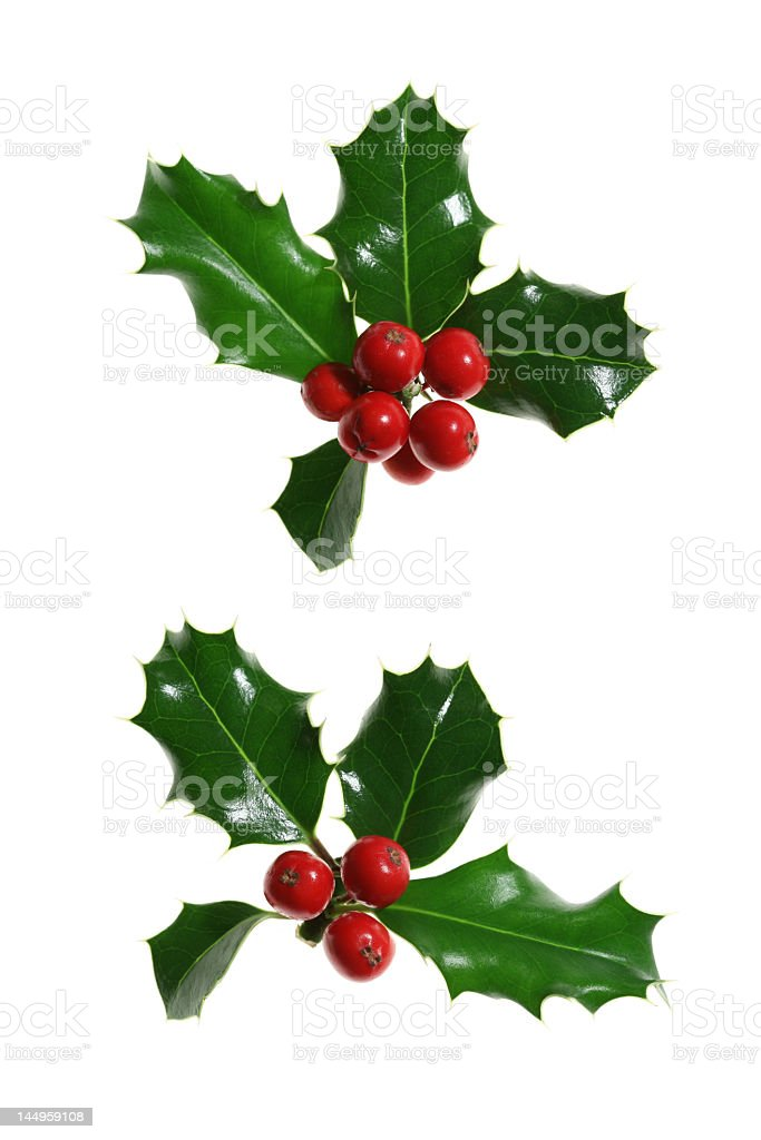 Sprigs of holly with berries on a white background stock photo