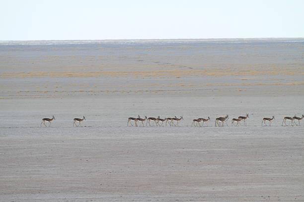 Sprinbok crossing Etosha Pan stock photo