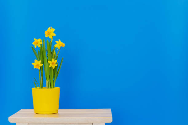 Sprind daffodils planted in yellow pot isolated on the blue background stock photo