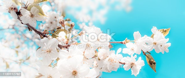 istock Spring abstract background of blossoming cherry 1133112762