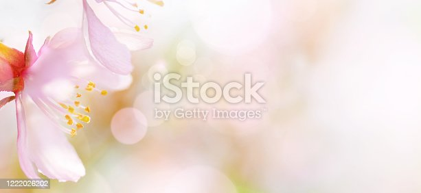 909680446 istock photo Spring abstract background of Blossoming pink almond flowers close-up. Soft focus, shallow DOF. 1222026202
