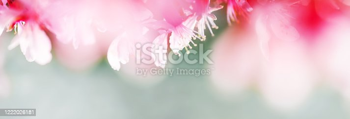 909680446 istock photo Spring abstract background of Blossoming pink almond flowers. Soft focus, shallow DOF. Wide spring web banner. 1222026181