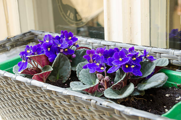 spring African-violet pot outside on window sill stock photo