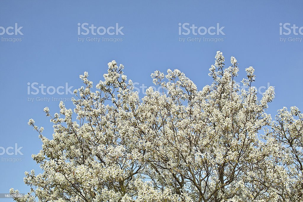 spring and blooming cherry tree in front of blue sky royalty-free stock photo
