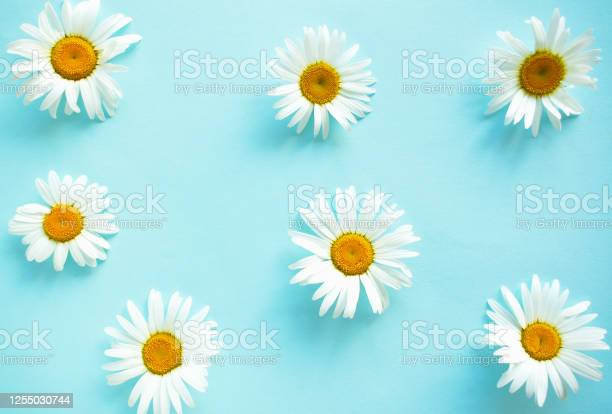 Spring and summer chamomile flowers on a blue background pattern of picture id1255030744?b=1&k=6&m=1255030744&s=612x612&h=ybcohgv2wnuz0ehipkx9v zy 6tql0wc9ezso3b2eku=