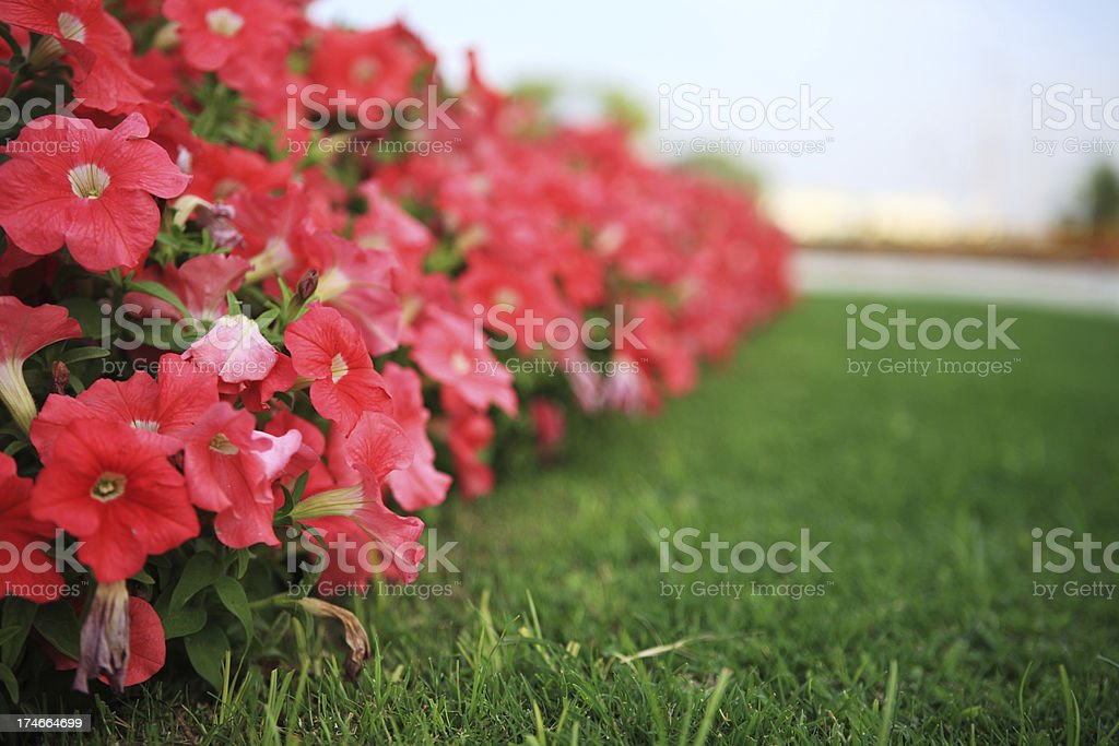 Spring Annual Petunia Tropical Flower Low Angle stock photo