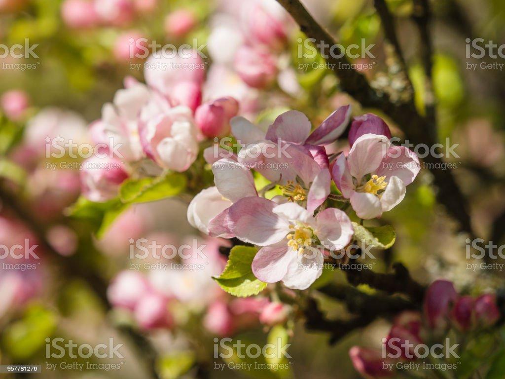 연두빛 사과나무 꽃송이  스톡 사진