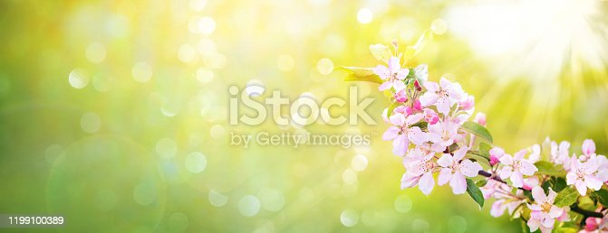 Spring apple blossoms on blurred green background