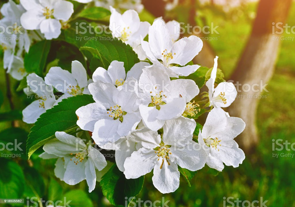 Spring apple flowers in bloom spring flower background stock photo spring apple flowers in bloom spring flower background royalty free stock photo mightylinksfo