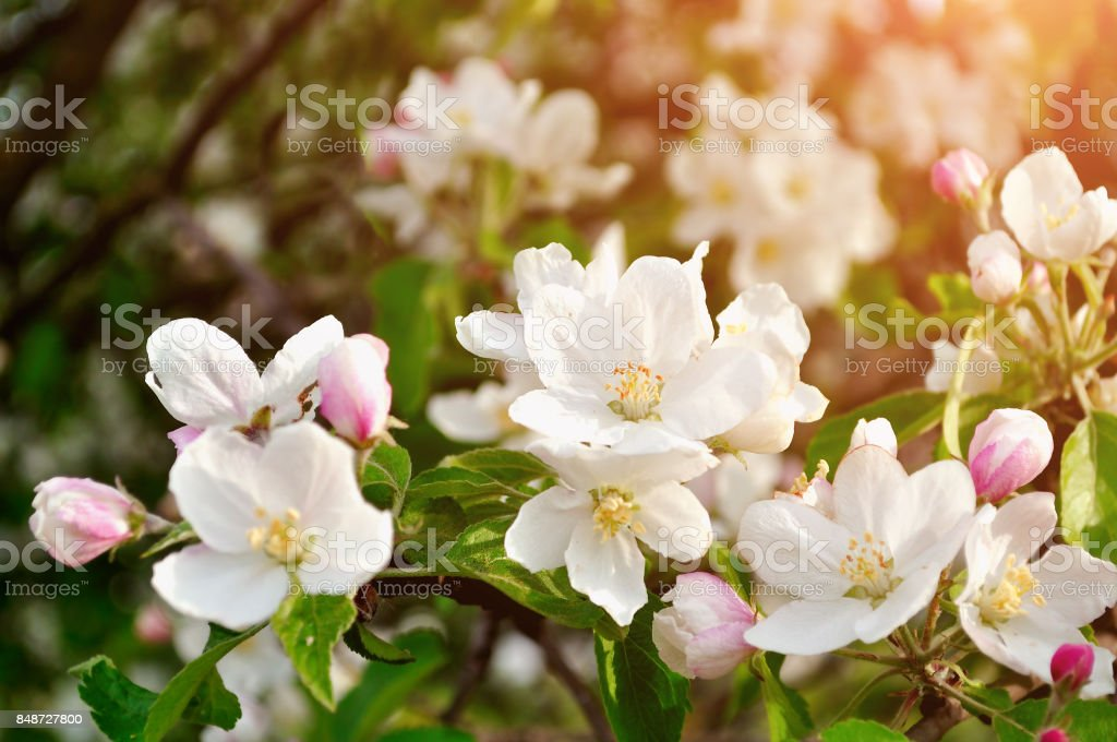 Spring apple flowers in blossom lit by soft sunlight stock photo
