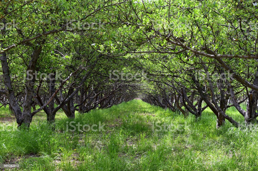 Spring Apple fruit trees orchard. Row of apple trees with green grass and dandelions in Utah, USA. zbiór zdjęć royalty-free