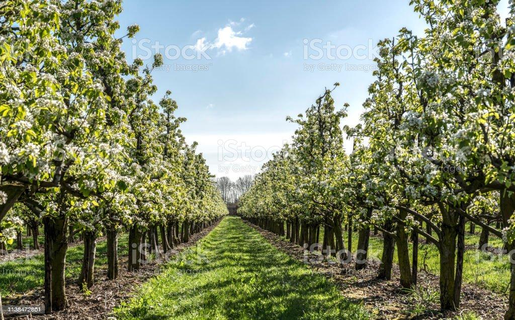 Frühlings-Apfelgarten - Lizenzfrei Apfelbaum Stock-Foto
