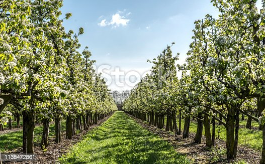 Apple Trees In blossom in  Orchard under a blue sky in spring time