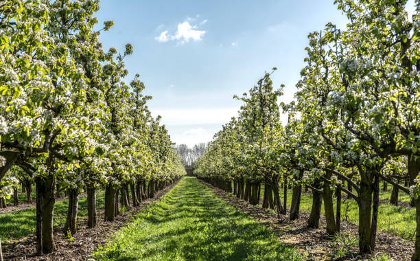 Spring apple orchard Apple Trees In blossom in  Orchard under a blue sky in spring time apple orchard stock pictures, royalty-free photos & images