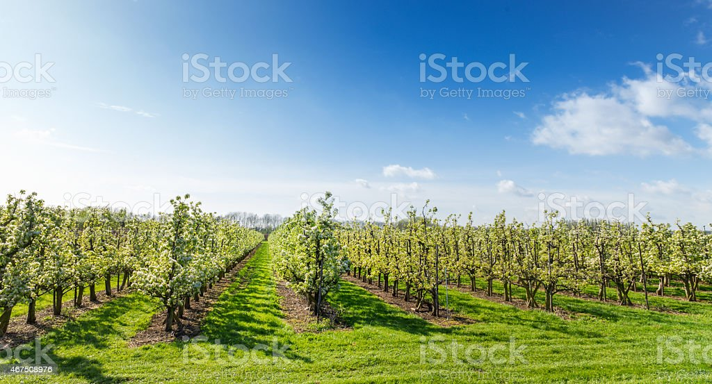 Spring apple orchard stock photo