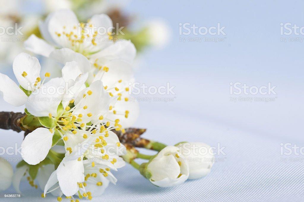 spring apple tree flowers royalty-free stock photo
