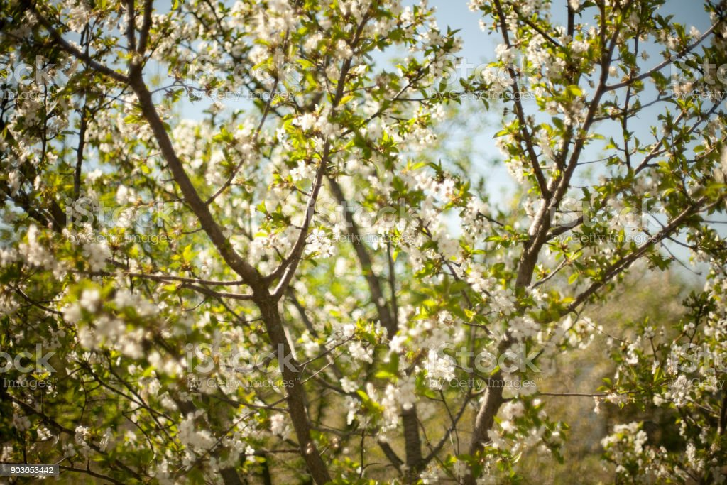 Spring apple trees in blossom flowers of apple white blooms of spring apple trees in blossom flowers of apple white blooms of blossoming tree mightylinksfo