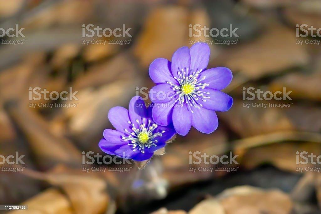 Spring awakening, flowers of liverwort in spring, Hepatica nobilis, Anemone hepatica stock photo