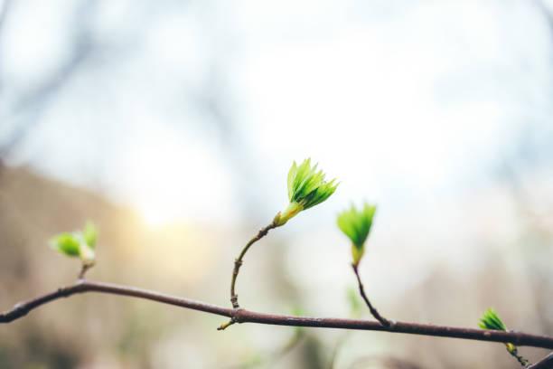 lente ontwaken - knop plant stage stockfoto's en -beelden