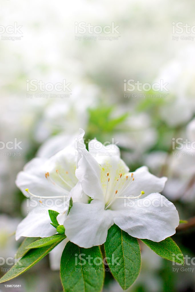 Spring Azaleas stock photo