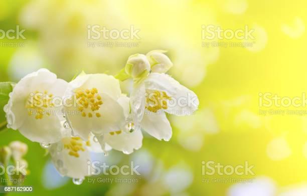 Spring background a branch of jasmine flowers in drops of dew in the picture id687162900?b=1&k=6&m=687162900&s=612x612&h=sjmom5gl7gflvmdghf0cixk7vcwquescnpd64dlrd0i=
