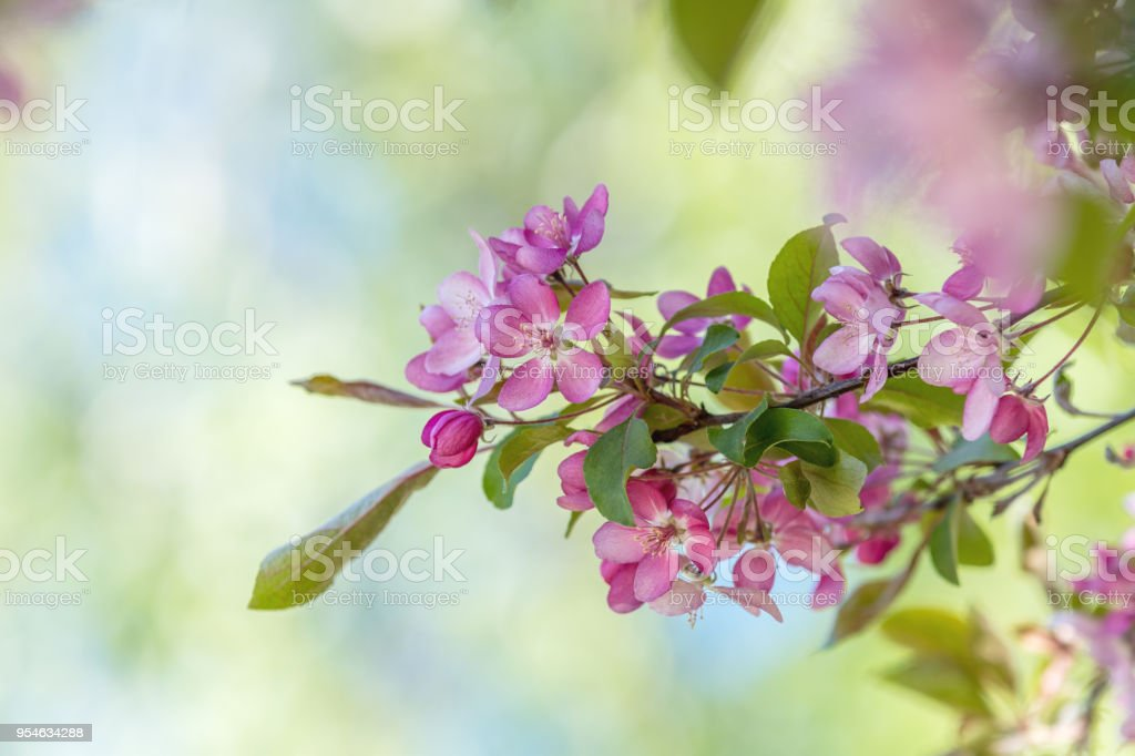 Spring background art with Pink Apple Tree Blossom stock photo