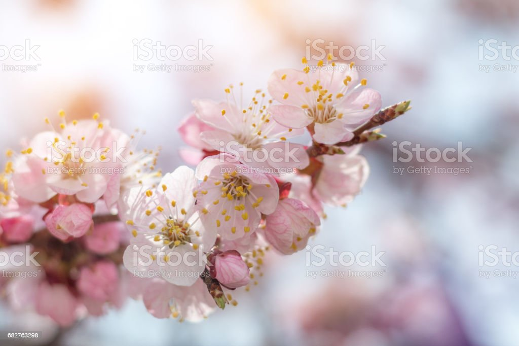 Spring background art with pink blossom stock photo