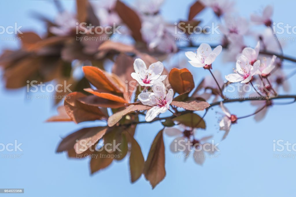 Spring background art with pink plum tree blossom stock photo