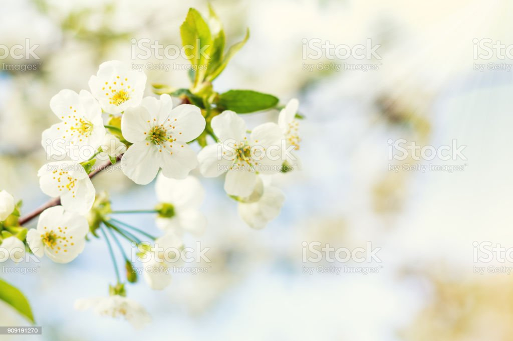 Spring background art with white cherry blossom. Beautiful nature scene with blooming tree and sun flare. Sunny day. Spring flowers. Beautiful orchard. Abstract blurred background. Shallow depth of field. royalty-free stock photo