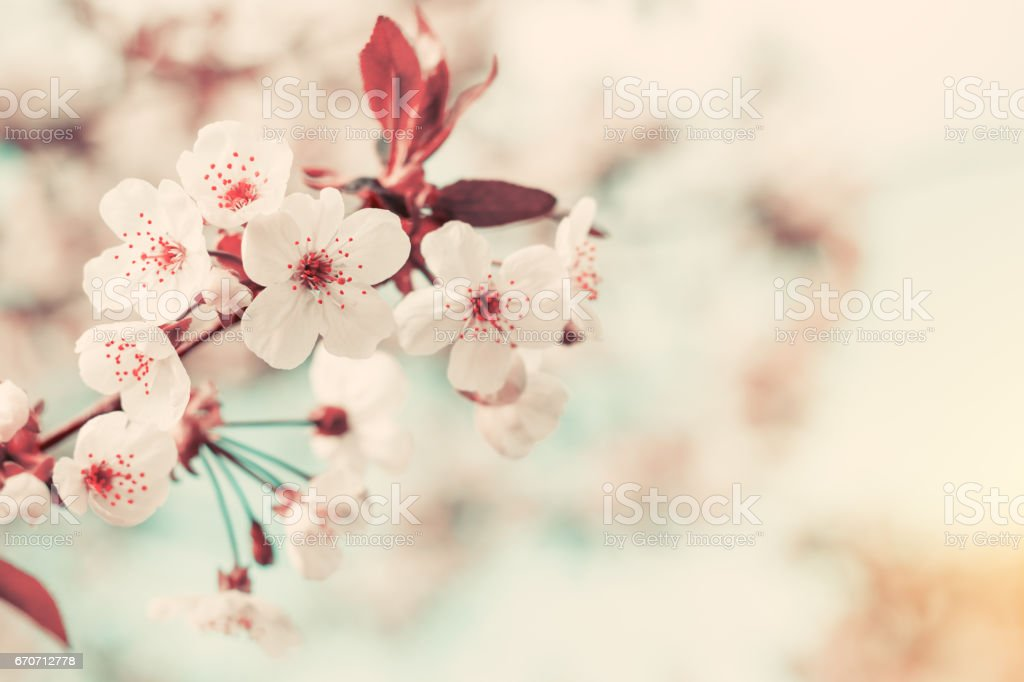 Spring background art with white cherry blossom stock photo