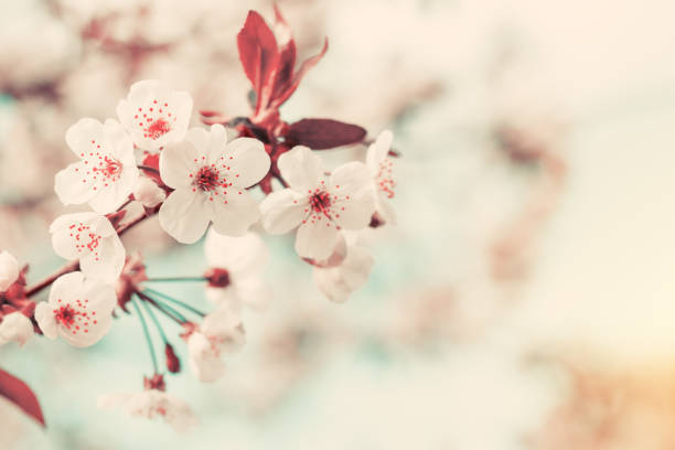 spring background art with white cherry blossom - blossom stock pictures, royalty-free photos & images