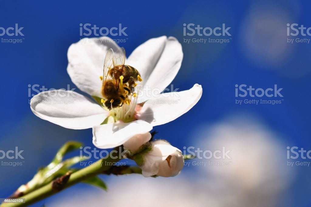 Spring background. Beautifully blossoming tree with a bee. Flower in nature. stock photo
