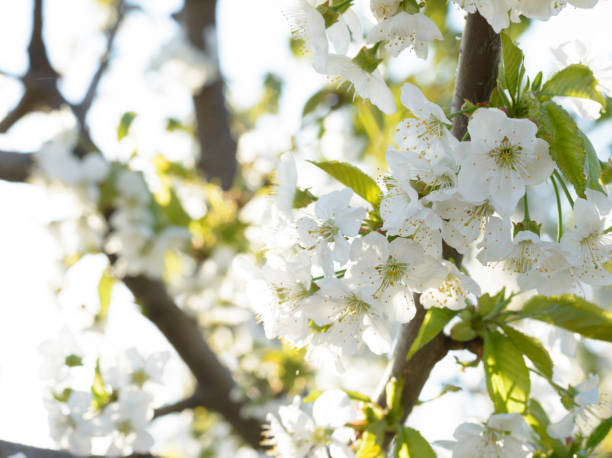 Frühling Hintergrund - Ast eines blühenden Baumes – Foto