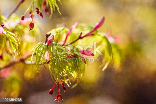 istock spring background ,budding acer leaves with selective focus & light bokeh 1294394236