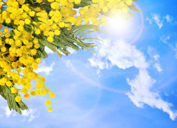 spring background. mimosa flowers against blue sky - immagini mimosa 8 marzo foto e immagini stock