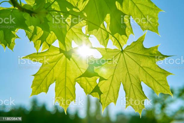 Photo of Spring background of bright fresh green maple leaves against the blue sky and sun rays. A bright pattern for the spring design of your idea