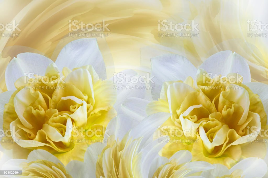 Spring background of gently white-yellow flowers of narcissuses. Close-up. Nature. - Royalty-free Affectionate Stock Photo