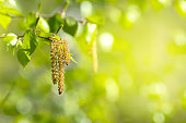 Spring background with branch of birch with catkins in sunshine