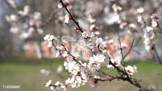 istock spring background sakura flowers 1143260067